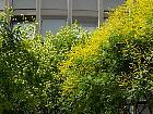 Panicled Goldenrain Tree, Varnish Tree, outline