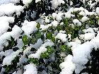Common Box, Boxwood, snowy landscape