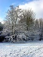 Field Maple, Hedge Maple, snowy landscape