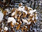 Beech, snowy landscape