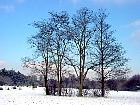 Black Locust, Common Locust, Yellow, White Locust, snowy landscape