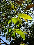 Common walnut, pictures