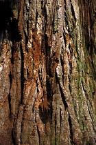 Redwood, bark