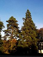 Giant Sequoia, pictures