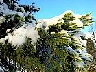 Giant Sequoia, snowy landscape