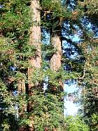 Redwood, pictures