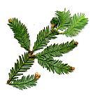 Redwood, needles