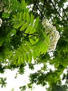 Mountain Ash, Rowan, pictures