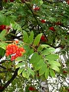 Mountain Ash, Rowan, flower