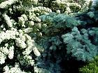 Spirea, flower