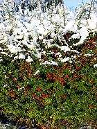 Spirea, snowy landscape