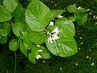 Storax, leaf