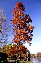 Bald Cypress, pictures