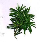 Irish Yew, needles