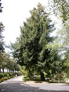 Chinese Torreya, outline
