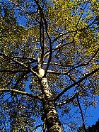Trembling Aspen, trunk