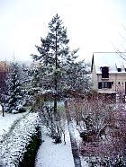 Western hemlock, snowy landscape