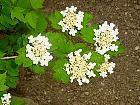 Arrowwood Viburnum, flower