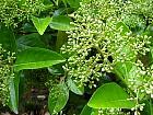 Sweet Viburnum, flower