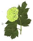 Cranberrybush Viburnum, leaf