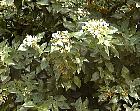 Laurestine, flower
