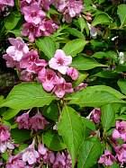 Weigel, flower