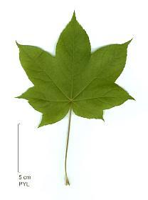 Un arbre a feuille caduque - Arbres a feuilles caduques ...
