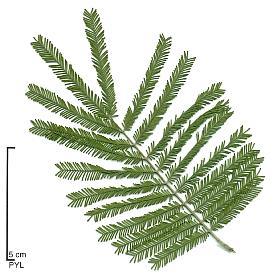 Acacia - Arbre a feuille persistant ...