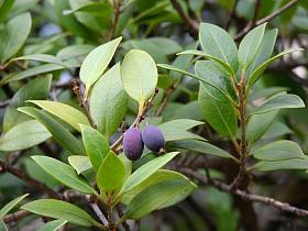 Mouillefer for Faux olivier arbre