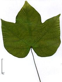 différentes gousses arbres afrique du sud
